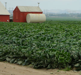 Romaine lettuce field Salinas with red barn