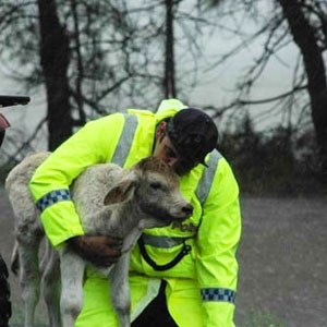 First responder rescuing calf in flood