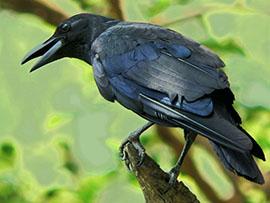 crow-2-270