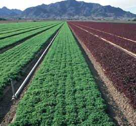 Lettuce fields in Salinas Valley