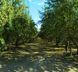 San Joaquin Valley nut orchard