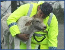 Rescuer saving calf