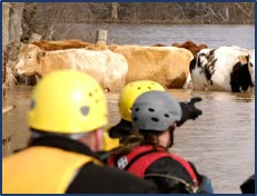 Picture of rescue team rescuing cows in a flood