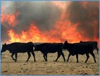 cattle crossing pastureland during wildfire