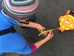 Melissa Partyka measuring a gaper clam at Tomales Bay