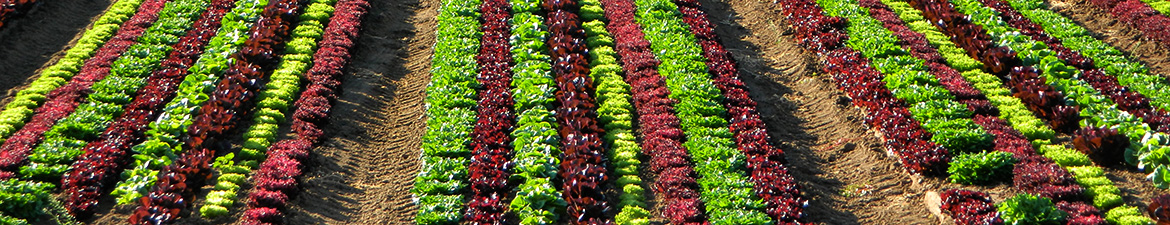 Photo of red leaf lettuce field by Ronald Bond, WIFSS