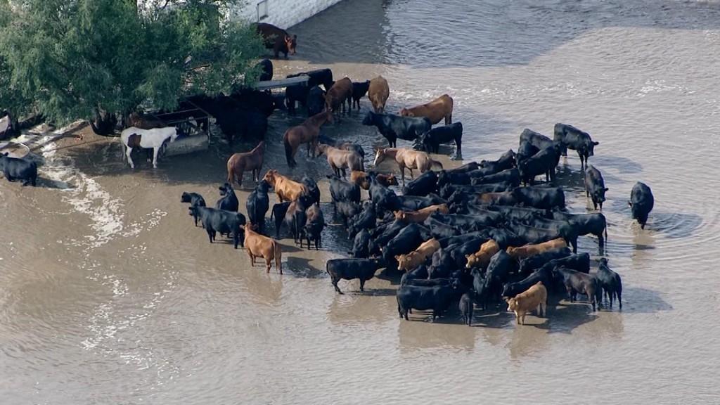Cattle in flooded field