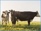 floodingbrochure-cow-framed