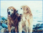 Two Golden Retrievers at lake