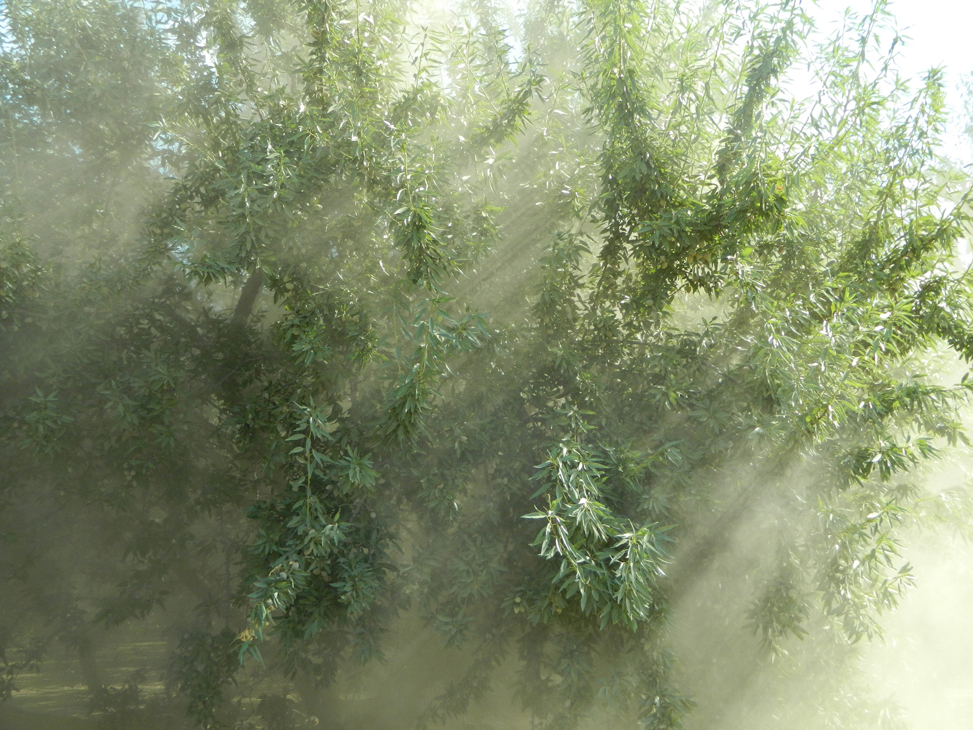 Harvesting almonds, shows dust and sunlight through tree banches