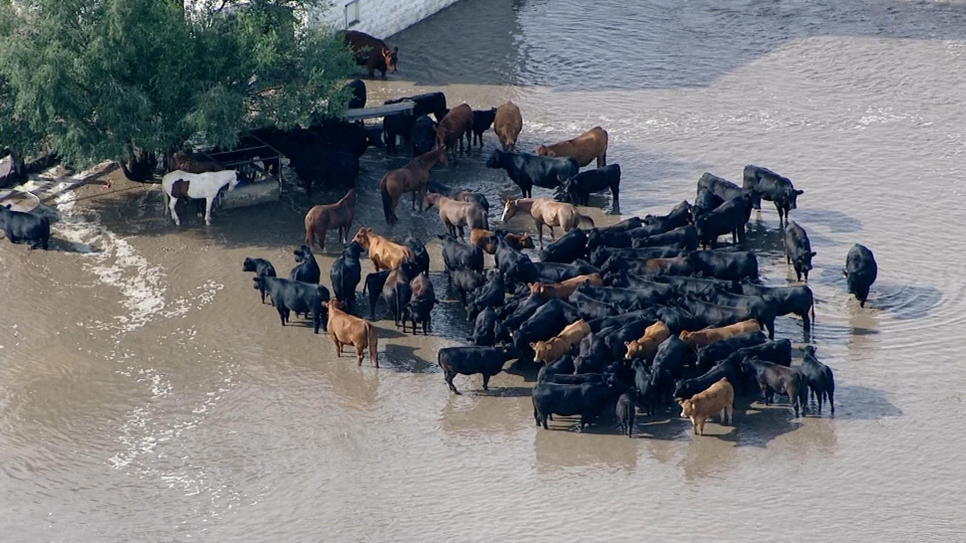 Cattle in flood conditions