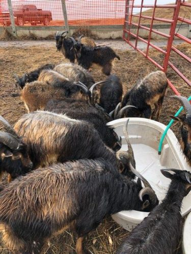 San Clemente Island Goats
